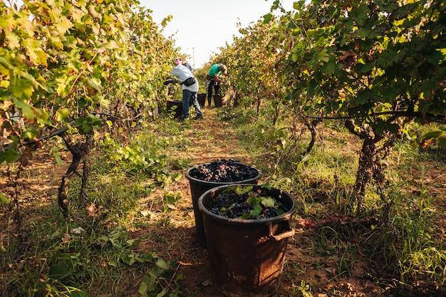 ブドウ園でのプリミティボの季節ごとの収穫