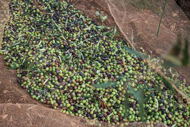 Сезонный сбор оливок в апулии, к югу от италии