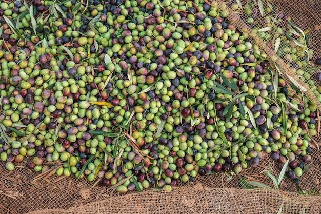 イタリア南部のプーリア州でのオリーブの季節ごとの収穫
