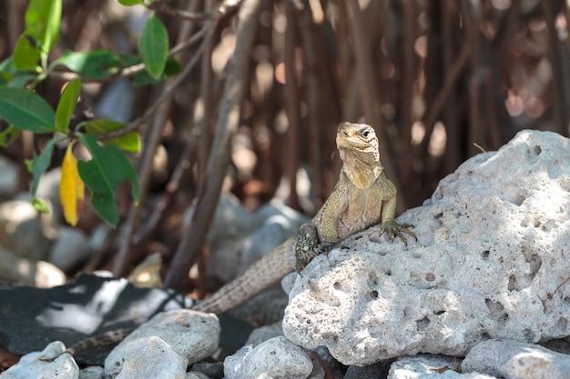 野生のイグアナ、キューバ