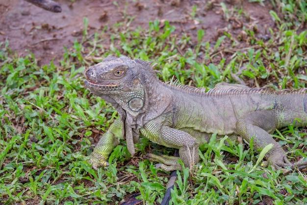 緑のイグアナは地面に爬虫類の動物です