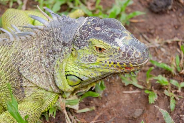 イグアナの頭の爬虫類の動物の背景を閉じる