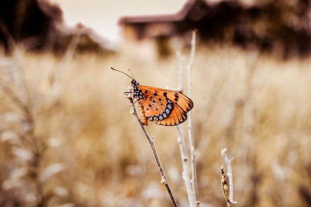 黄褐色のコスター蝶