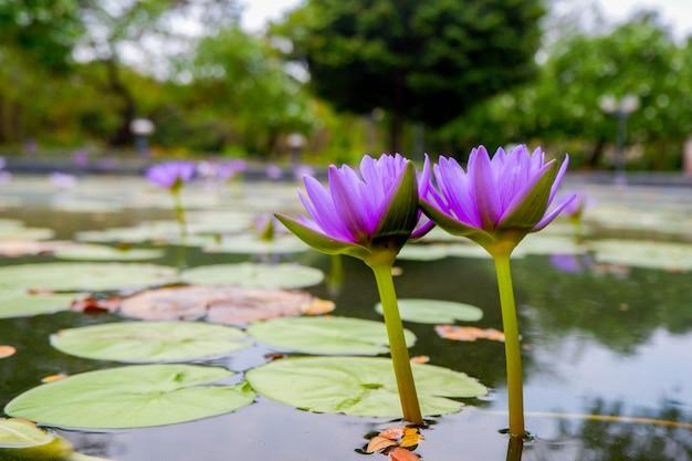 紫の蓮の花
