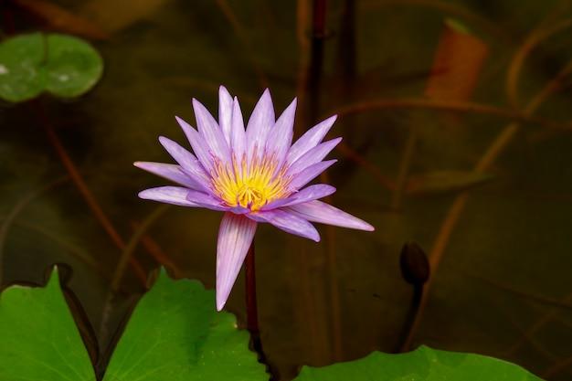 紫の蓮の花をクローズアップ