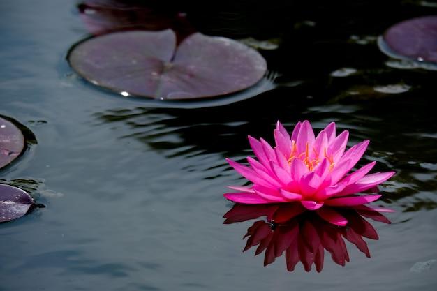 美しいピンクの蓮の花やスイレンの花が咲く