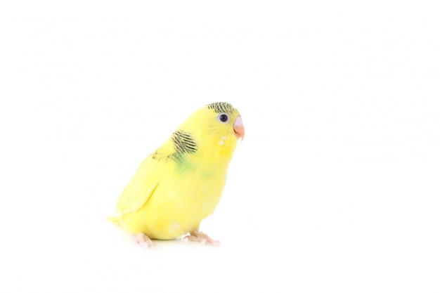Маленький желтый волнистый попугайчик на белом фоне