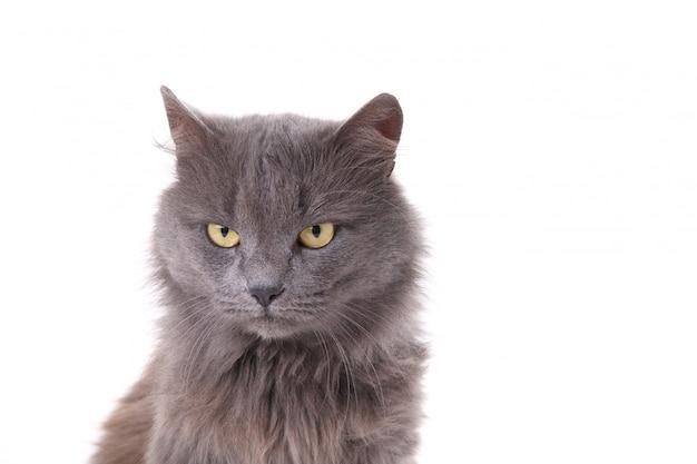 白で隔離される美しい灰色猫