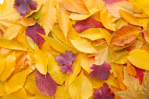 赤とオレンジ色の紅葉背景。感謝祭