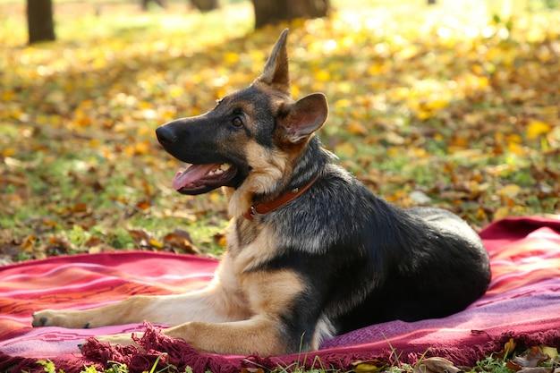 秋の公園のベッドカバーのジャーマンシェパード。森の犬