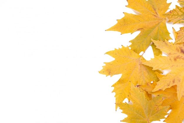 Оранжевые осенние листья на белом фоне