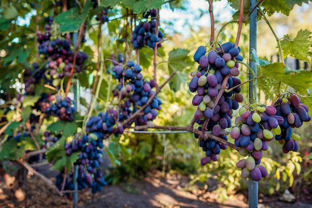 生態農場のテーブルブドウの収穫。庭にぶら下がっている青い喜びブドウの大きな房