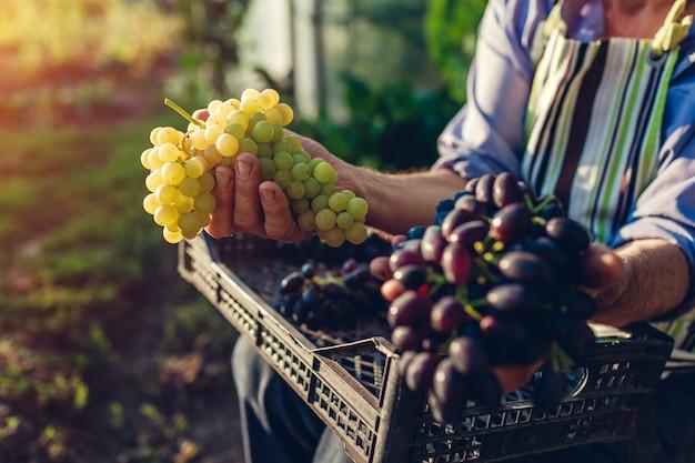 秋の収穫。生態学的な農場でブドウの収穫を選ぶ農家。緑と青ブドウを保持している幸せの年配の男性
