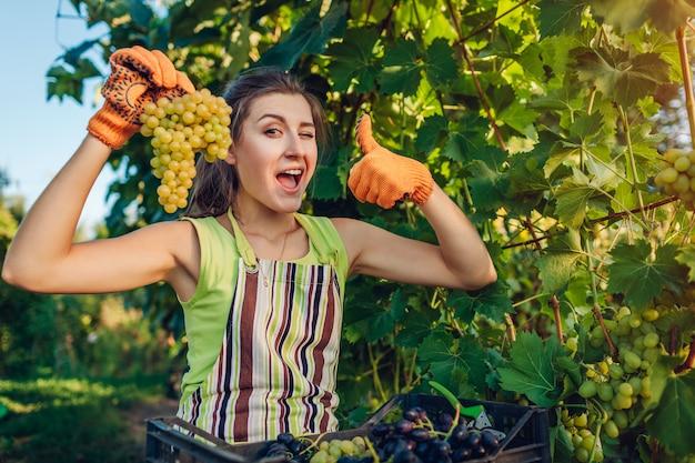 生態農場でブドウの収穫を集める農家。ブドウの房を押しながら親指を現して女性