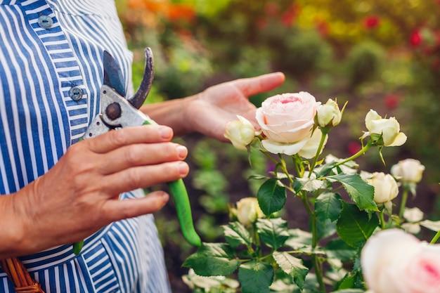 年配の女性が庭で花を集めます。中年の女性が剪定ばさみでバラを切り取ります。ガーデニングのコンセプト