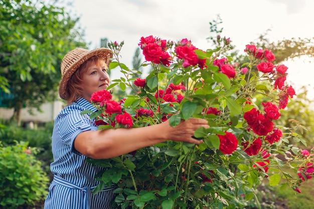庭で花を楽しむ年配の女性。バラの茂みを抱いて臭いがする中年の女性。ガーデニングのコンセプト