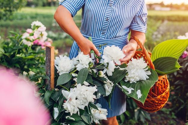 年配の女性が庭で花を集めます。高齢者が剪定牡丹と刈り取り女性を引退