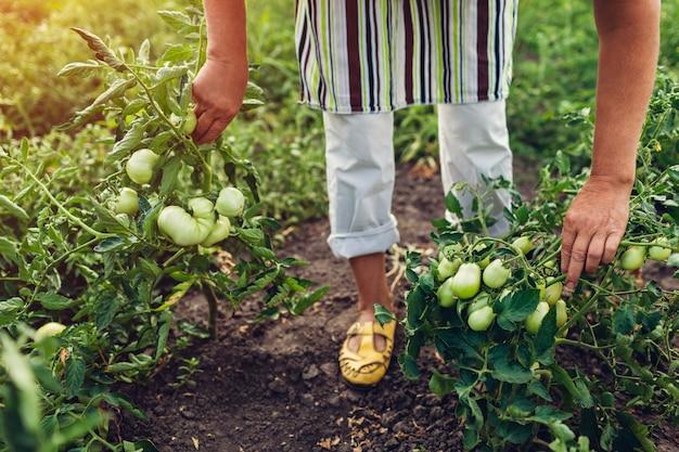 年配の女性農家の農場で成長している緑のトマトをチェックします。