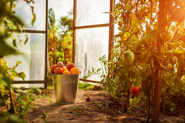 農場の温室で赤いトマトのバケツ。
