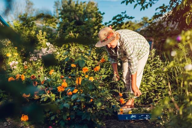 Старшая женщина собирая цветки в саде. среднего возраста женщина срезает цветы с помощью секатора.