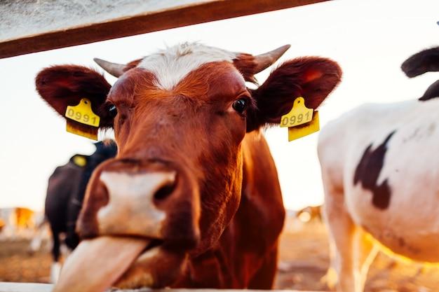Конец-вверх белой и коричневой коровы показывая язык на дворе фермы