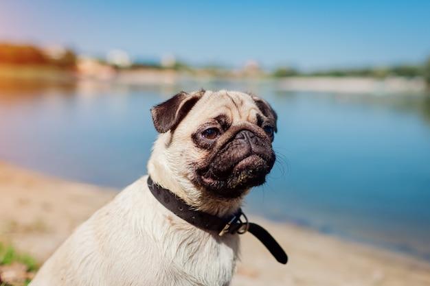 川のそばに座っているパグ犬