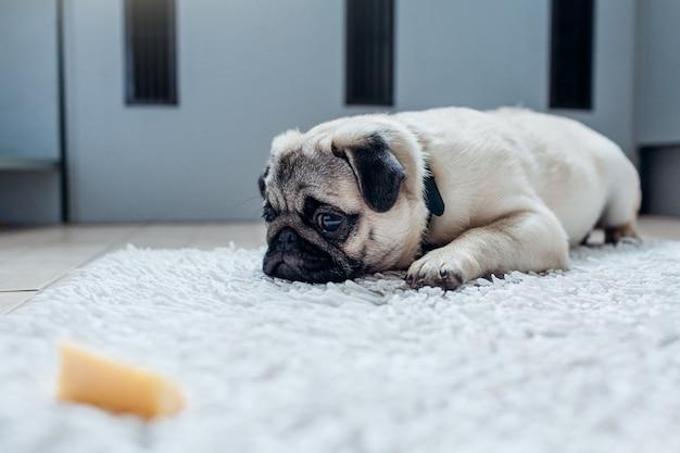 パグ犬がチーズを食べる許可を待っています