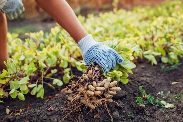 Фермер женщина собирает арахис