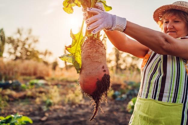 ビートルート作物。農夫は土からビートの根を抜き取り、それを保持しました。秋の収穫。野菜を摘みます。