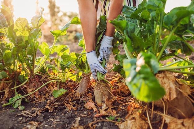 農夫は土からビートの根を引っ張る