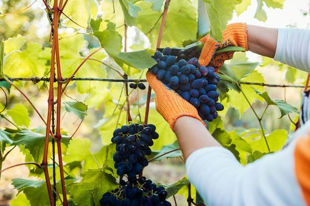 生態学的な農場でブドウの収穫を選ぶ農家。剪定はさみで女性切断ブルーテーブルブドウ