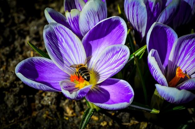 Пчела на фиолетовом весеннем цветке