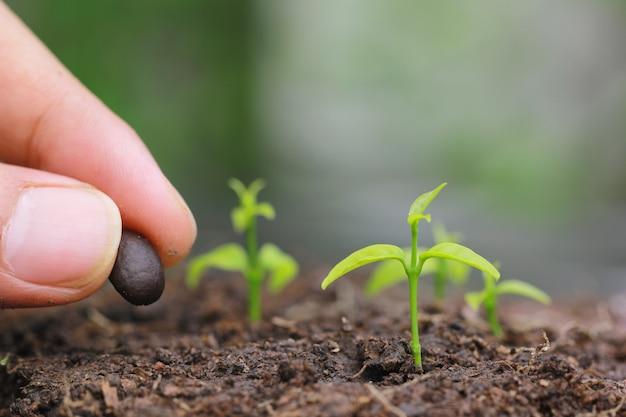 苗は地面から育てられ、手は土壌農業で種を植えます