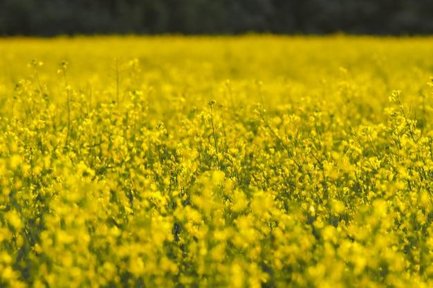 Цветущее поле рапса весной