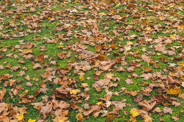 緑の草の背景、黄金の秋の時間、秋と黄色のカエデの葉