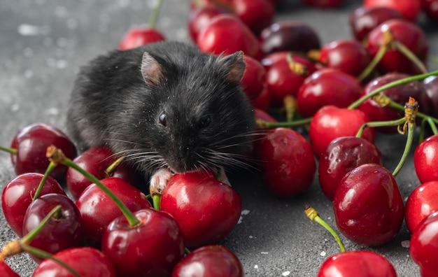 黒いハムスターが新鮮なサクランボを食べる