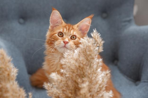 赤い猫の肖像画。赤猫メインクーン