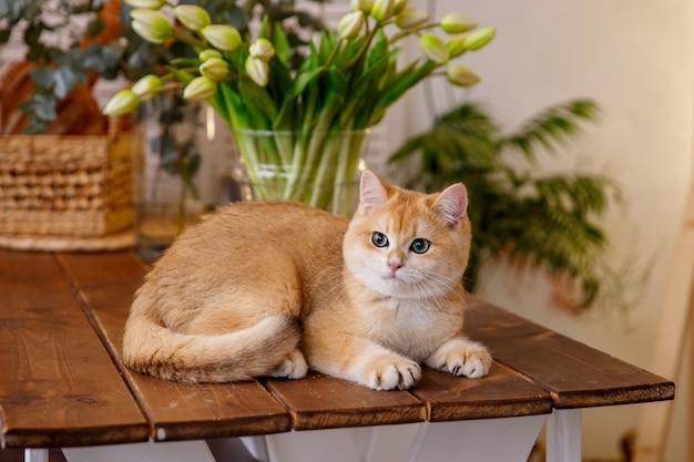 春の装飾、テーブルの上に座って猫ブリティッシュゴールデンブリティッシュチンチラ