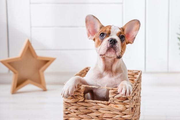 フレンチブルドッグ子犬スタンド