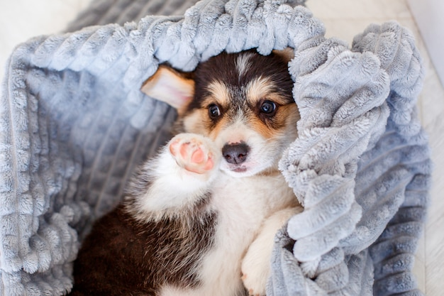 毛布で覆われているかわいいウェルシュコーギーの子犬