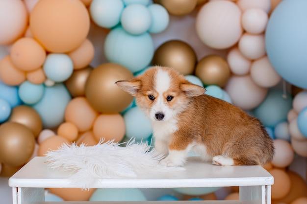 風船の背景の上に座ってコーギー子犬ウェールズペンブローク