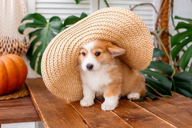 麦わら帽子の残りに座っているペンブロークウェルシュコーギーの子犬