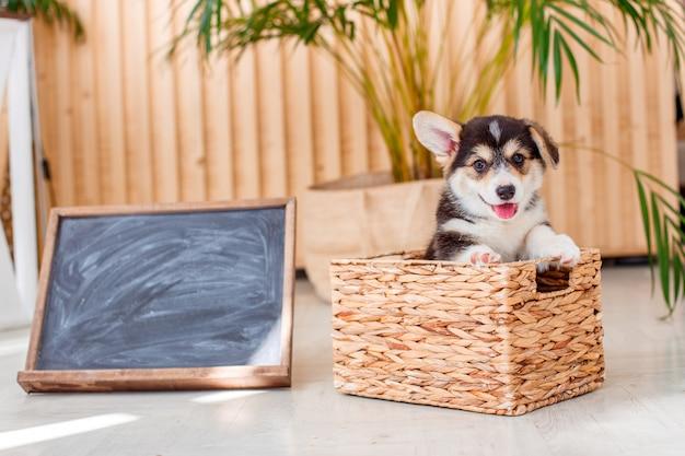 バスケットに座っているコーギーの子犬ウェールズペンブローク