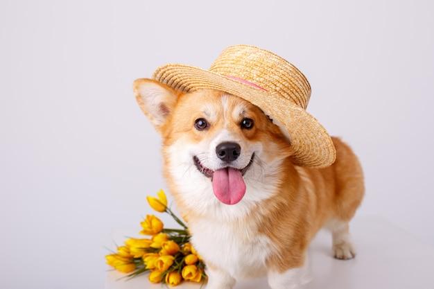 白で隔離される販売帽子の春の花の花束とウェールズのコーギーペンブローク犬