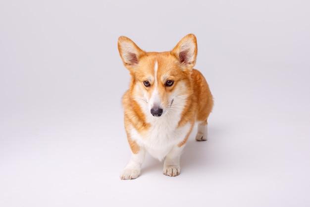 白で隔離ウェルシュコーギーペンブローク犬