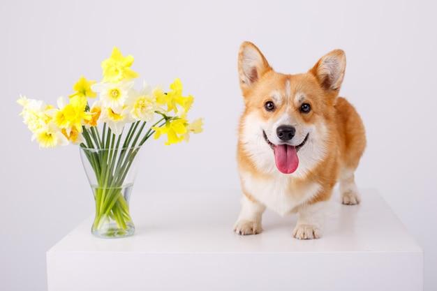 白で隔離される春の花の花束とウェールズコーギーペンブローク犬