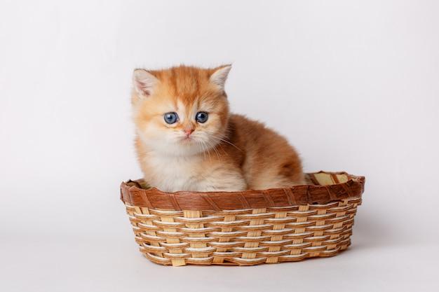 子猫ゴールデンチンチライギリスホワイトバスケットに