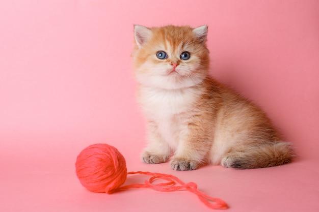 ボールとピンクのスペースで子猫ゴールデンチンチラブリティッシュ