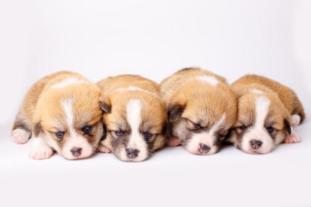白い背景で寝ている小さなウェールズコーギーペンブローク子犬