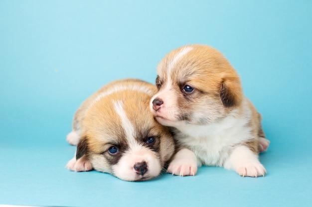 青い背景に横になっているかわいいコーギーウェルシュペンブローク子犬
